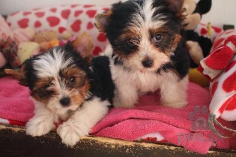 Neuznané plemená a krížence,Šteňatá Biewer Terrier / Yorkshire Terrier