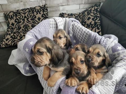 Duriče, farbiare a príbuzné plemená,Hravé šteňatá Bloodhound