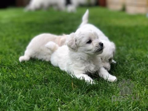 Spoločenské a sprievodné psy,Šteniatka kvality Bolognese