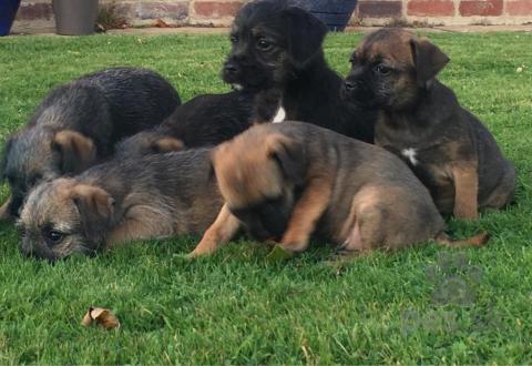 Teriéry,Šteniatka Border Terrier