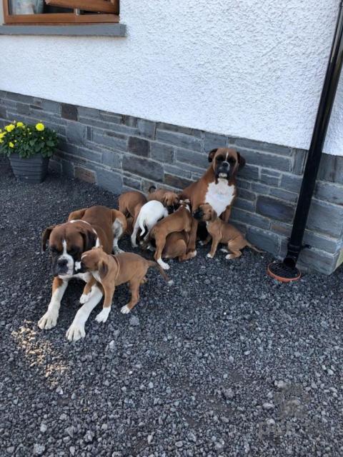 Ovčiaky a pastierske psy, Krásne boxerové šteňatá