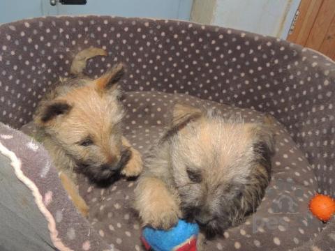 Teriéry, Registrované šteňatá Cairn Terrier