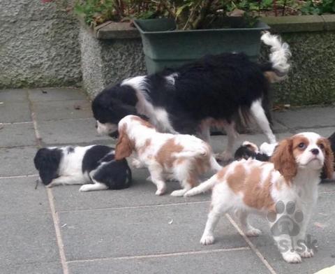 Spoločenské a sprievodné psy,v Šteňatá Cavalier King Charles