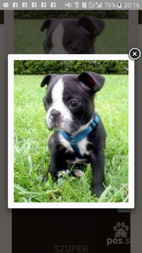 Spoločenské a sprievodné psy,Bostonsky terier