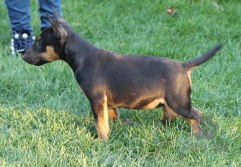 Teriéry,Mini Bull terrier Fenka