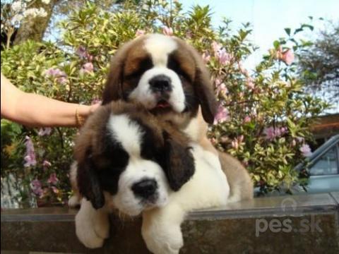 Pinče, bradáče, molosoidy a švajčiarske salašnícke psy,Svätého Bernarda šteňatá