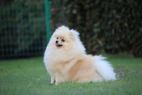 Špice a primitívne typy,Pomeranian- prodám fenky  PP
