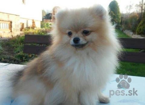 Špice a primitívne typy,Pomeranian- prodám fenečky s PP