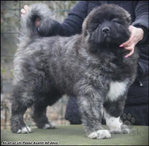 Pinče, bradáče, molosoidy a švajčiarske salašnícke psy,Šteňatá kavkazského ovčiaka na predaj
