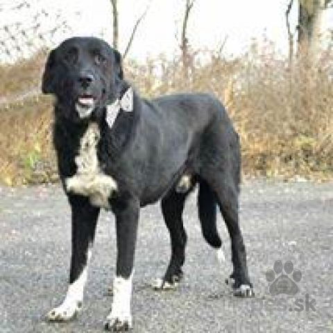 Neuznané plemená a krížence,Neword prítulný a priateľský psíček kríženec doga