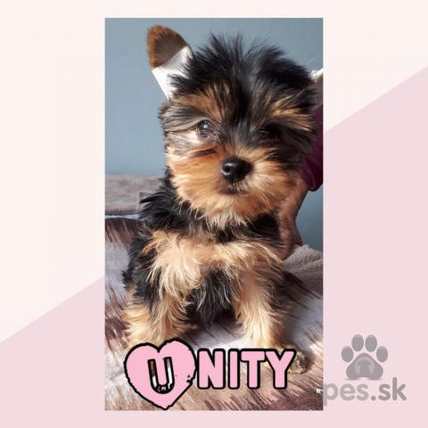 Teriéry,Yorkshire terrier
