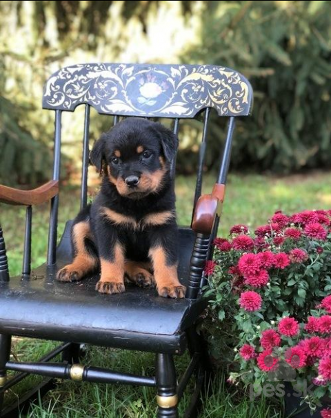 Pinče, bradáče, molosoidy a švajčiarske salašnícke psy,Rotvajler šteňatá