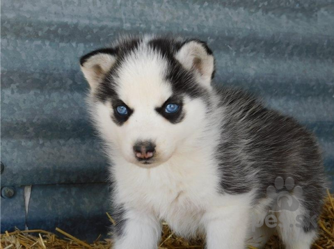 Špice a primitívne typy,Siberian Husky šteniatka na prijatie