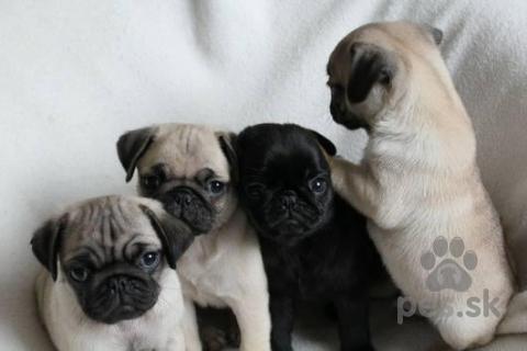 Spoločenské a sprievodné psy,Mužské a ženské MOPS šteniatka k dispozícii