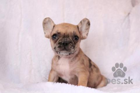 Spoločenské a sprievodné psy,Milujúci francúzsky buldoček šteňatá