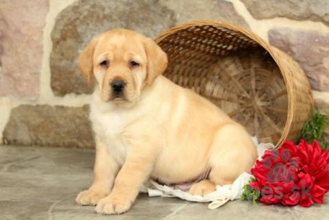 Retrívre, sliediče a vodné psy,Hravé šteniatka labradorského retrívera