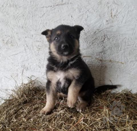 Ovčiaky a pastierske psy,Šťastný nemecký ovčiak šteňatá
