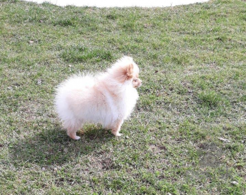 Špice a primitívne typy,Pomeranian, prodám fenečku s PP