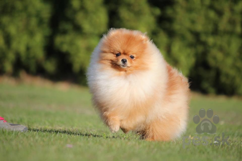Špice a primitívne typy,Pomeranian, prodám pejska s PP