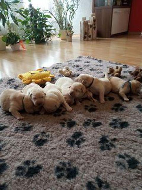 Retrívre, sliediče a vodné psy,Labrador šteniatka s PP