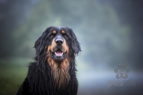 Pinče, bradáče, molosoidy a švajčiarske salašnícke psy,Hovawart- šteniatka s PP