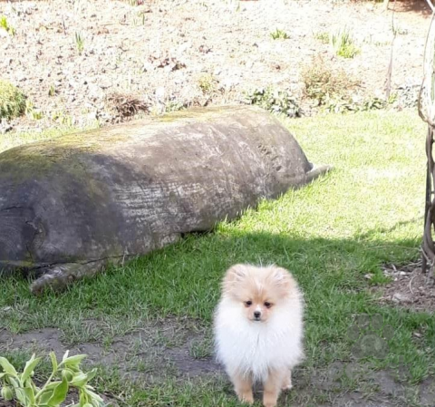 Špice a primitívne typy,Pomeranian prodám fenečky s PP