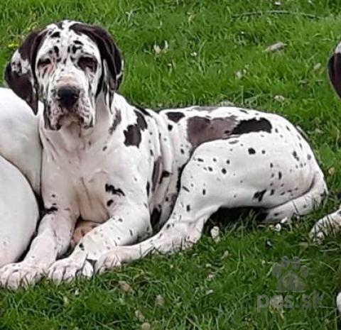 Pinče, bradáče, molosoidy a švajčiarske salašnícke psy,Německá doga