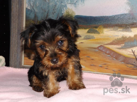 Teriéry,Jorkšírský teriér (yorkshire terrier) s PP