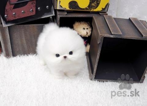 Špice a primitívne typy,Štěňátka Pomeranian s PP (FCI)