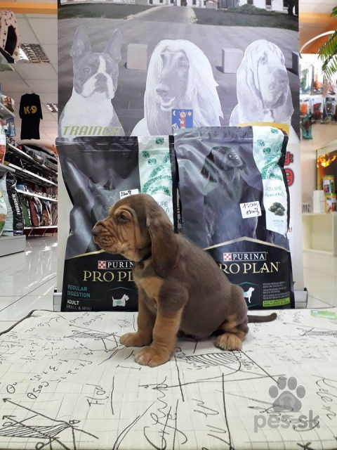Duriče, farbiare a príbuzné plemená,bloodhound