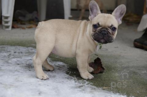 Spoločenské a sprievodné psy,Kúpim Francúzkeho buldočka