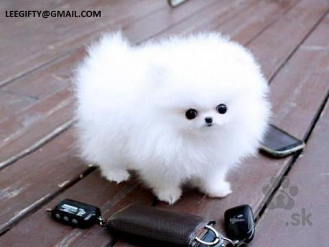 Stavače,očarujúce šálka šteňa pomeranian k dispozícii