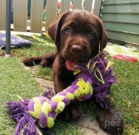 Retrívre, sliediče a vodné psy,Labrador – čokoládové šteniatka s PP
