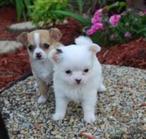 Spoločenské a sprievodné psy,Čivava, Predám psíka