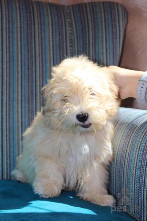 Spoločenské a sprievodné psy,Havanese bichon puppy