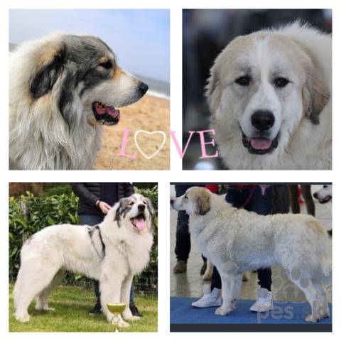 Pinče, bradáče, molosoidy a švajčiarske salašnícke psy,Pyrenejský horský pes- šteniatka s PP