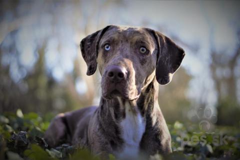 Neuznané plemená a krížence,Louisiánsky leopardí pes / Catahoula - chovný pes - krytie