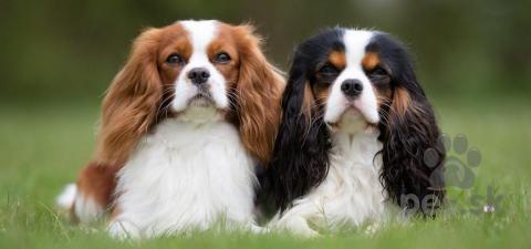 Spoločenské a sprievodné psy,Cavalier King