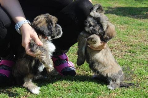 Spoločenské a sprievodné psy,Šteňatá havanských bichónov