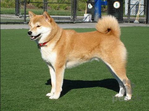 Špice a primitívne typy,Kúpim šteniatko Shiba Inu