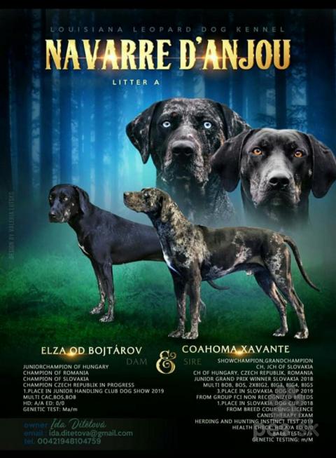 Neuznané plemená a krížence,Plánujeme šteniatka Louisianský leopardí pes Catahoula