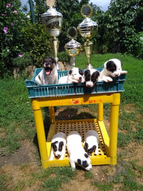 Teriéry,Jack Russell Terrier