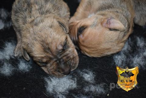 Pinče, bradáče, molosoidy a švajčiarske salašnícke psy,Uruguajský Cimarron (cimarron uruguayo) s PP