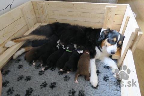 Ovčiaky a pastierske psy,Austrálsky ovčiak s PP