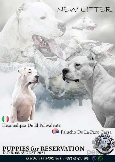 Pinče, bradáče, molosoidy a švajčiarske salašnícke psy,Dogo Argentino, šteniatka chovateľskej stanice Triangle