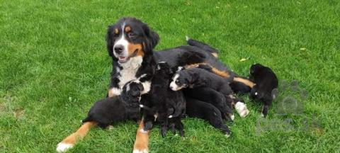 Pinče, bradáče, molosoidy a švajčiarske salašnícke psy,Bernský salašnícky pes