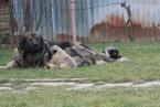 Pinče, bradáče, molosoidy a švajčiarske salašnícke psy,KAUKAZSKÝ OVČIAK