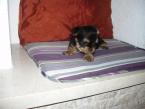 ,Yorkshirsky terier mini