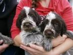 ,Prodám nádherné štěně plemene český fousek s PP (FCI)