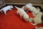 ,Labrador Retriever - šteniatka s PP